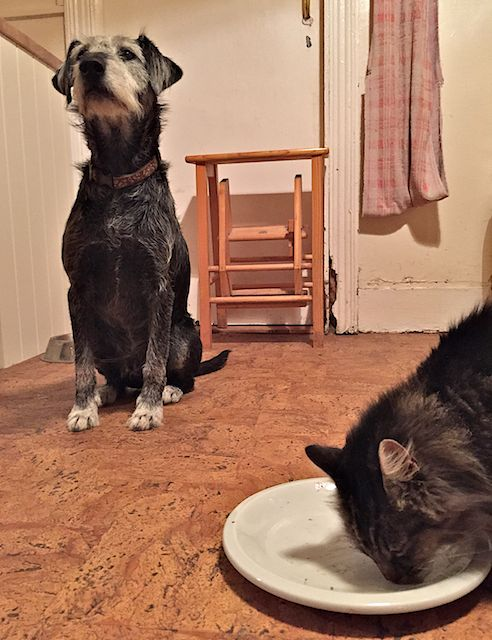Pepper pretending there is no such thing happening as a cat licking a shepherds pie plate.... Teehee